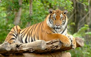 Panthera tigris tigris.