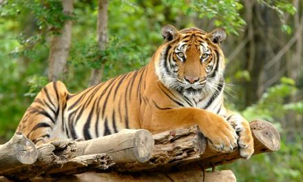 Extinct Tiger Species Tiger Facts And Information