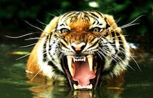 Bengal_Tiger_in_Water_220