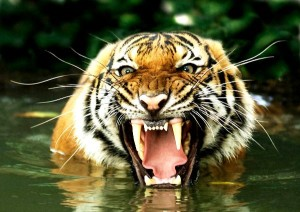 bengal_tiger_in_water_600