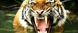 Bengal_tiger_facts