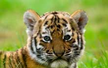 Cute_Siberian_Tiger_Cub_220