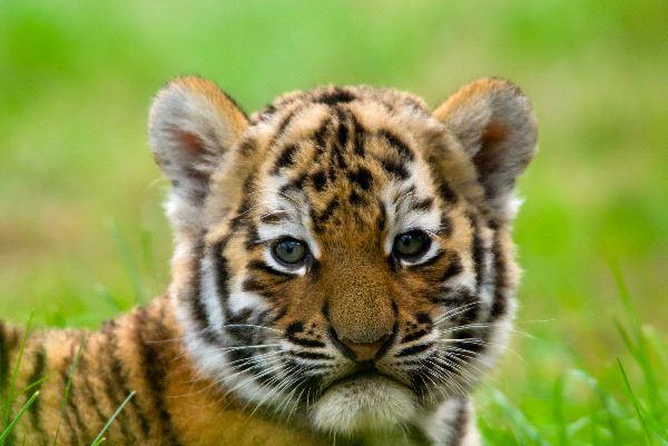 Cute Siberian Tiger Cub
