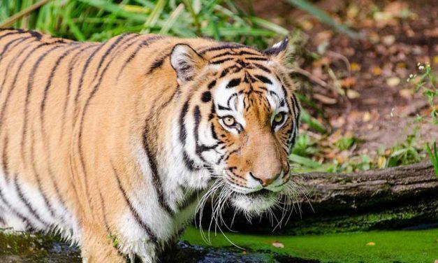 Tigre de Indochina