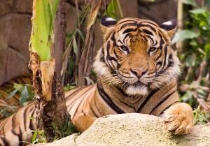 Malayan_Tiger_-_Phantera_Tigris_Jacksoni_600