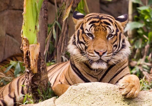 Malayan Tiger - Phantera Tigris Jacksoni