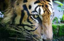 Malayan_Tiger_Drinking_Water_220