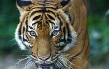 Malayan_Tiger_walking_slowly_220