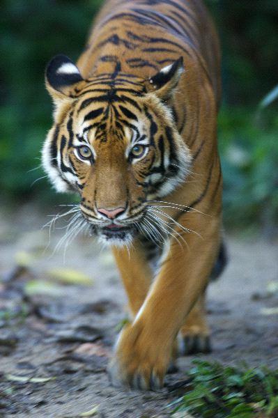 Malayan Tiger walking slowly