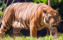 Malayan_Tigress_Walking_In_The_Forest_220