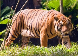 Malayan_Tigress_Walking_In_The_Forest_600