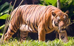 Panthera tigris jacksoni.