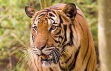 male malayan tiger