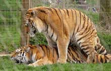 mating tigers
