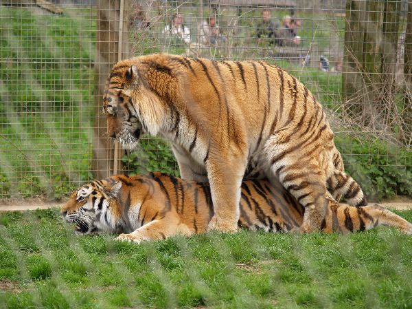 Mating Tigers At Marwell Zoo Hampshire