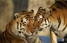 couple of tigers