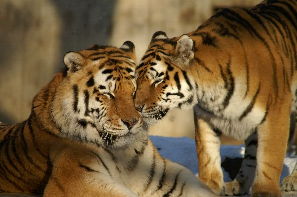 Nice Couple of Tigers