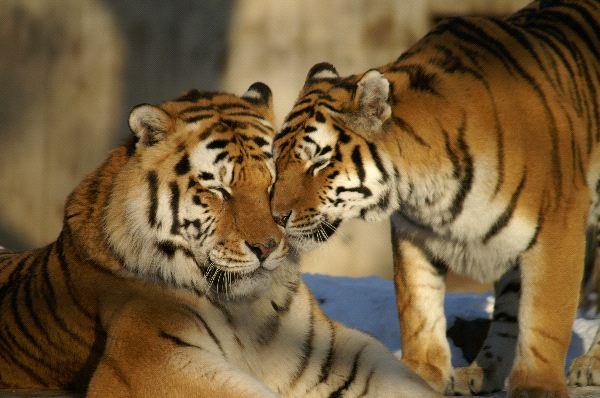 hermosa_pareja_de_tigres_600