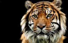 Old_Sumatran_Tiger_Eyes_220