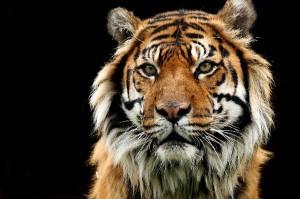 Old_Sumatran_Tiger_Eyes_600
