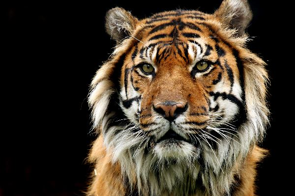 viejo_tigre_de_sumatra_600