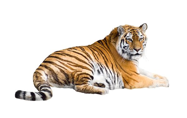 Siberian Tiger Laying Isolated