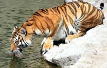 Siberian tiger on river bank