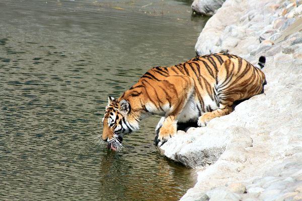 Siberian Tiger On River Bank