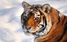 siberian tiger snow