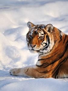Siberian_Tiger_Resting_On_Snow_600
