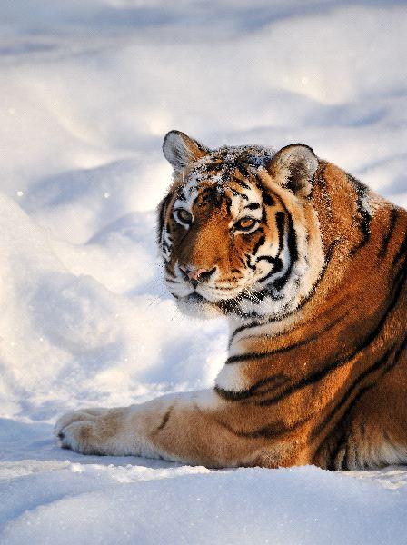 tigre_en_la_nieve