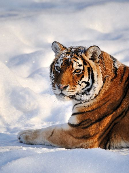 Siberian Tiger Resting On Snow