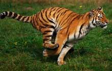 Siberian_Tiger_Running_220