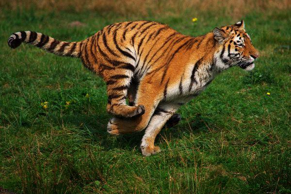 tigre_corriendo_600