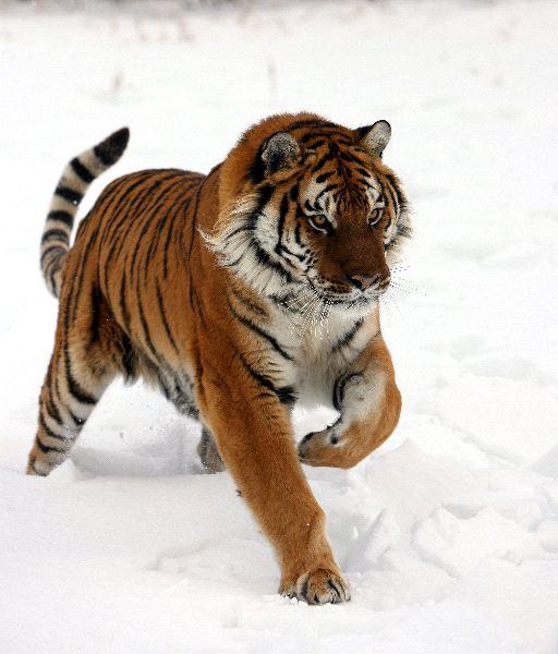 tigre_adulto_corriendo_nieve