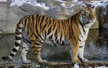 siberian tiger standing