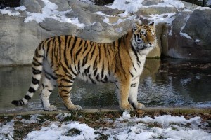 Siberian_Tiger_Standing_600