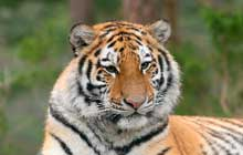 siberian tiger zoo
