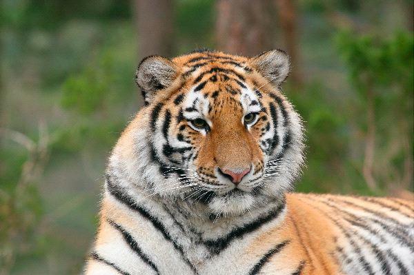 Siberian Tiger in Zoo