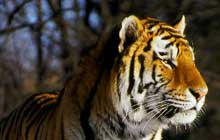 Siberian_Tiger_standing_in_the_wild_220