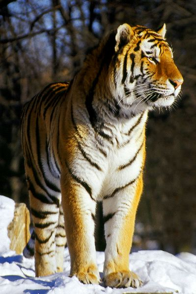 Siberian Tiger Standing in the Wild