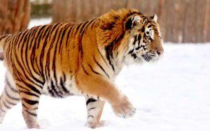 Siberian Tiger - Panthera tigris altaica.