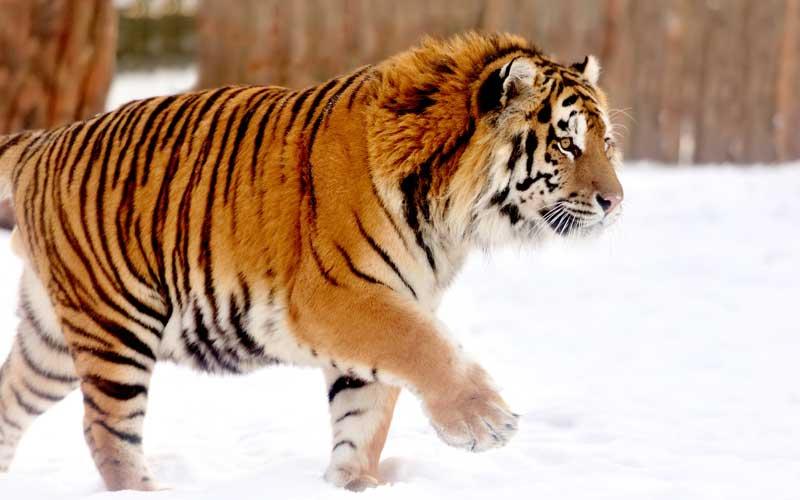 Siberian tiger characteristics.