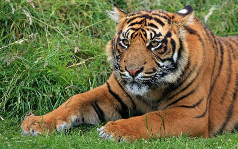 Información sobre el tigre de Sumatra.