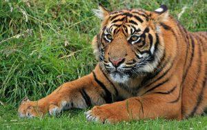 Sumatran tiger characteristics.
