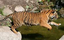 sumatran tiger jumping