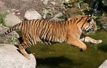 sumatran tiger jumping