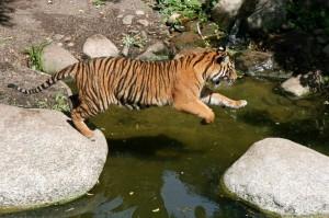 Sumatran_Tiger_Jumping_600