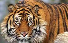 Sumatran_Tiger_in_Kent_UK_2200