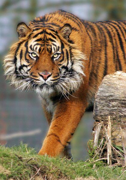 Sumatran Tiger in Kent UK
